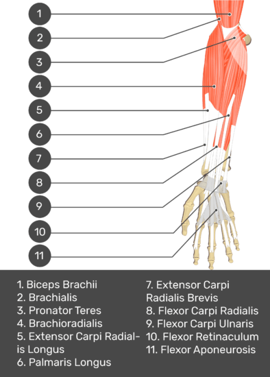 A test yourself image of the anterior view of the forearm showing the bony elements and the deeper muscles. The visible structures of the forearm are numbered 1-11. The answers in the box below are as follows 1. Biceps Brachii 2. Brachialis 3. Pronator Teres 4. Brachioradialis 5. Extensor Carpi Radialis Longus 6. Palmaris Longus 7. Extensor Carpi Radialis Brevis 8. Flexor Carpi Radialis 9. Flexor Carpi Ulnaris 10. Flexor Retinaculum 11. Flexor Aponeurosis.