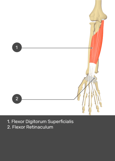 A test yourself image of the anterior view of the forearm showing the bony elements and the deeper muscles. The visible structures of the forearm are numbered 1-2. The answers in the box below are as follows 1. Flexor Digitorum Superficialis 2. Flexor Retinaculum.