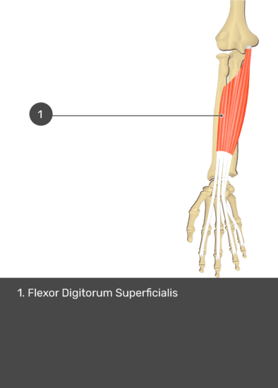 A test yourself image of the anterior view of the forearm showing the bony elements and the isolated Flexor Digitorum Superficialis muscle numbered 1.