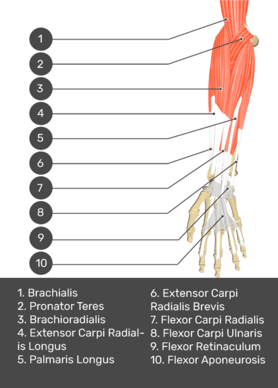 A test yourself image of the anterior view of the forearm showing the bony elements and the deeper muscles. The visible structures of the forearm are numbered 1-10. The answers in the box below are as follows 1. Brachialis 2. Pronator Teres 3. Brachioradialis 4. Extensor Carpi Radialis Longus 5. Palmaris Longus 6. Extensor Carpi Radialis Brevis 7. Flexor Carpi Radialis 8. Flexor Carpi Ulnaris 9. Flexor Retinaculum 10. Flexor Aponeurosis.
