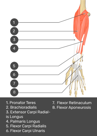 A test yourself image of the anterior view of the forearm showing the bony elements and the deeper muscles. The visible structures of the forearm are numbered 1-8. The answers in the box below are as follows: 1. Pronator Teres 2. Brachioradialis 3. Extensor Carpi Radialis Longus 4. Palmaris Longus 5. Flexor Carpi Radialis 6. Flexor Carpi Ulnaris 7. Flexor Retinaculum 8. Flexor Aponeurosis.