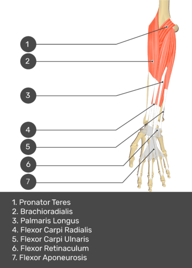 A test yourself image of the anterior view of the forearm showing the bony elements and the deeper muscles. The visible structures of the forearm are numbered 1-7. The answers in the box below are as follows 1. Pronator Teres 2. Brachioradialis 3. Palmaris Longus 4. Flexor Carpi Radialis 5. Flexor Carpi Ulnaris 6. Flexor Retinaculum 7. Flexor Aponeurosis.