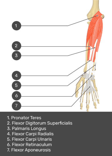 A test yourself image of the anterior view of the forearm showing the bony elements and the deeper muscles. The visible structures of the forearm are numbered 1-7. The answers in the box below are as follows 1. Pronator Teres 2. Flexor Digitorum Superficialis 3. Palmaris Longus 4. Flexor Carpi Radialis 5. Flexor Carpi Ulnaris 6. Flexor Retinaculum 7. Flexor Aponeurosis.