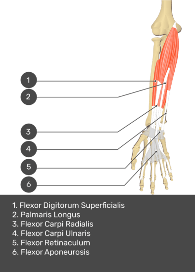 A test yourself image of the anterior view of the forearm showing the bony elements and the deeper muscles. The visible structures of the forearm are numbered 1-6. The answers in the box below are as follows 1. Flexor Digitorum Superficialis 2. Palmaris Longus 3. Flexor Carpi Radialis 4. Flexor Carpi Ulnaris 5. Flexor Retinaculum 6. Flexor Aponeurosis.