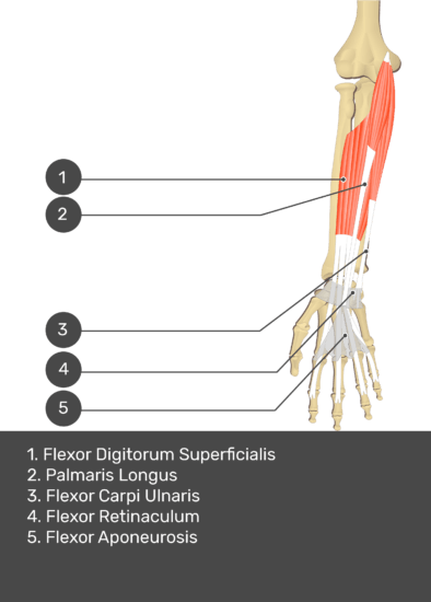 A test yourself image of the anterior view of the forearm showing the bony elements and the deeper muscles. The visible structures of the forearm are numbered 1-5. The answers in the box below are as follows 1. Flexor Digitorum Superficialis 2. Palmaris Longus 3. Flexor Carpi Ulnaris 4. Flexor Retinaculum 5. Flexor Aponeurosis.