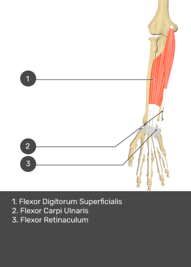 A test yourself image of the anterior view of the forearm showing the bony elements and the deeper muscles. The visible structures of the forearm are numbered 1-3. The answers in the box below are as follows 1.Flexor Digitorum Superficialis 2. Flexor Carpi Ulnaris 3. Flexor Retinaculum.