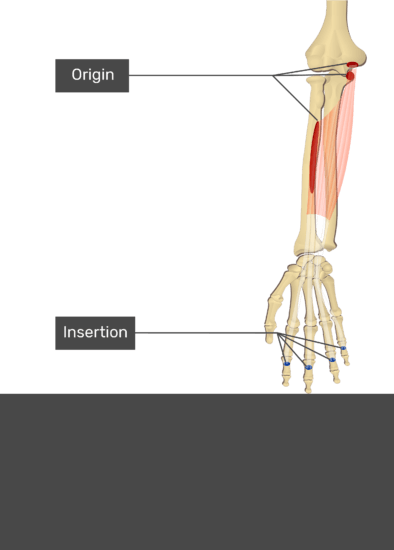 A test yourself image of the anterior view of the forearm showing the bony elements and the attachment of the Flexor Carpi Radialis muscle. Origin of the humero-ulnar head: medial epicondyle of humerus & coronoid process of ulna and of the radial head: upper anterior surface of radius are marked by red areas. The insertions at the middle phalanges of digits 2-5 are marked by blue circles. Transparent Flexor Digitorum Superficialis muscle connects the two attachment sites.