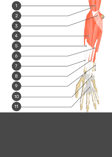 A test yourself image of the anterior view of the forearm showing the bony elements and the associated soft structures. The visible structures of the forearm are labelled 1-11 and the answers in the box below are concealed.