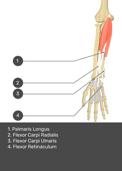 A test yourself image of the anterior view of the forearm showing the bony elements and the deeper muscles. The visible structures of the forearm are numbered 1-4. The answers in the box below are as follows 1. Palmaris Longus 2. Flexor Carpi Ulnaris 3. Flexor Carpi Ulnaris 4. Flexor Retinaculum.