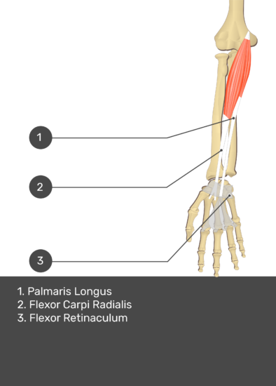 A test yourself image of the anterior view of the forearm showing the bony elements and the deeper muscles. The visible structures of the forearm are numbered 1-3. The answers in the box below are as follows 1. Palmaris Longus 2. Flexor Carpi Radialis 3. Flexor Retinaculum.