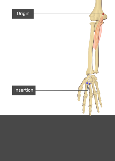 A test yourself image of the anterior view of the forearm showing the bony elements and the attachment of the Flexor Carpi Radialis muscle. Origin at the medial epicondyle of humerus is marked by a red oval. The insertions at the bases of second and third metacarpals are marked by blue circles. Transparent Flexor Carpi Radialis muscle connects the two attachment sites.