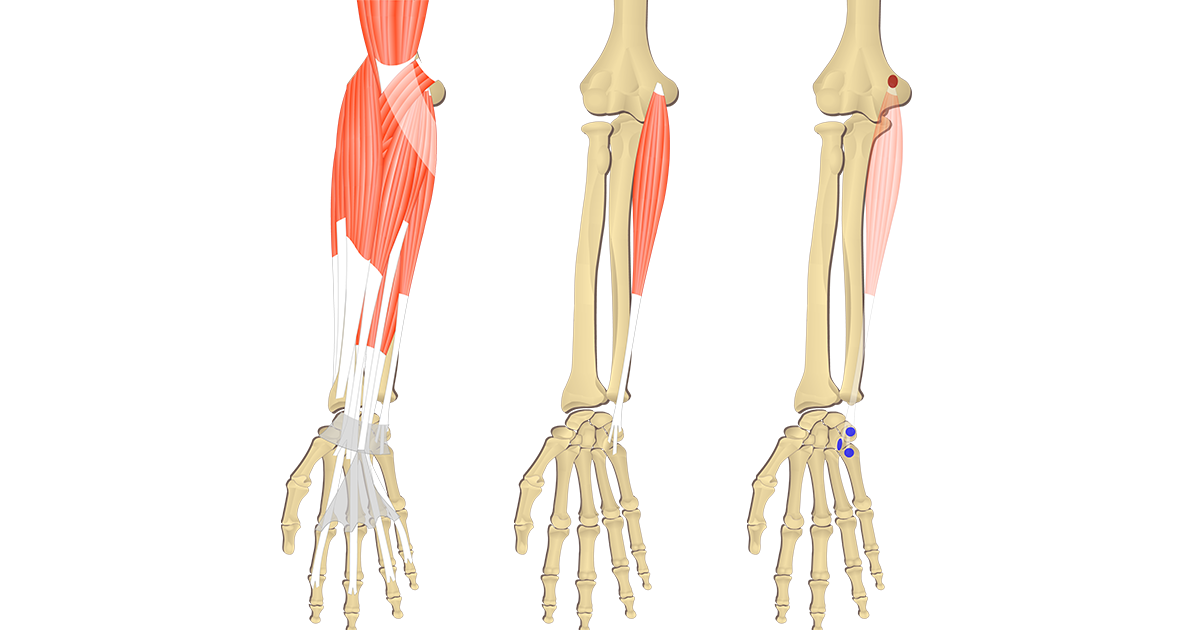 Featured image showing three images of the anterior forearm. The image on the left shows the bony elements and the muscles of the anterior forearm, the middle image shows the bony elements and isolated Flexor Carpi Ulnaris muscle, and the image on the right shows the attachments of the Flexor Carpi Ulnaris muscle connected by a transparent muscle itself.