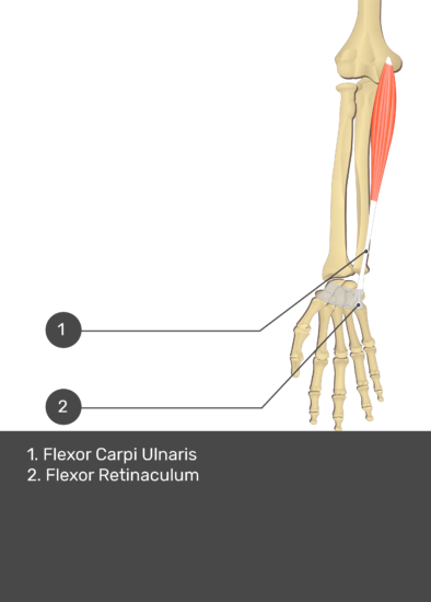 A test yourself image of the anterior view of the forearm showing the bony elements and the deeper muscles. The visible structures of the forearm are numbered 1-2. The answers in the box below are as follows 1. Flexor Carpi Ulnaris 2. Flexor Retinaculum.