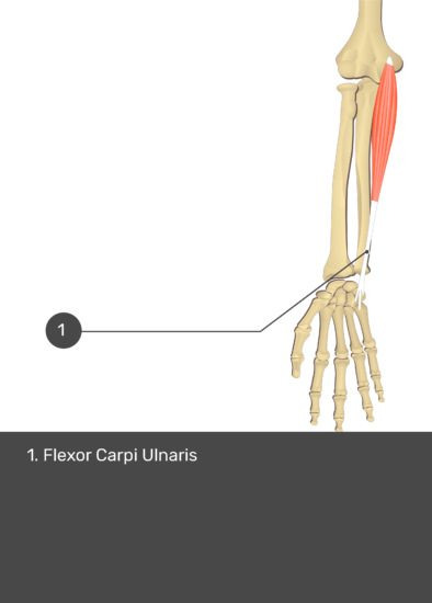 A test yourself image of the anterior view of the forearm showing the bony elements and the isolated Flexor Carpi Ulnaris muscle numbered 1.
