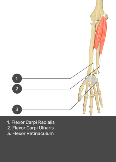 A test yourself image of the anterior view of the forearm showing the bony elements and the deeper muscles. The visible structures of the forearm are numbered 1-3. The answers in the box below are as follows 1. Flexor Carpi Radialis 2. Flexor Carpi Ulnaris 3. Flexor Retinaculum.