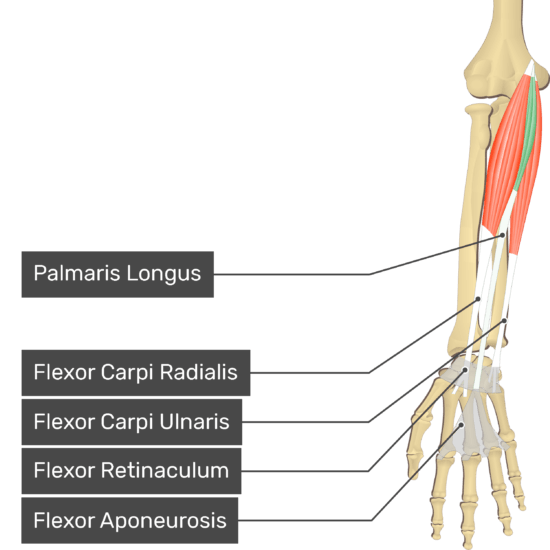 An anterior view of the forearm showing the bony elements and the deeper muscles. The visible, labelled muscles are as follows: Palmaris Longus (highlighted in green), Flexor Carpi Radialis, Flexor Carpi Ulnaris, Flexor Retinaculum, Flexor Aponeurosis.