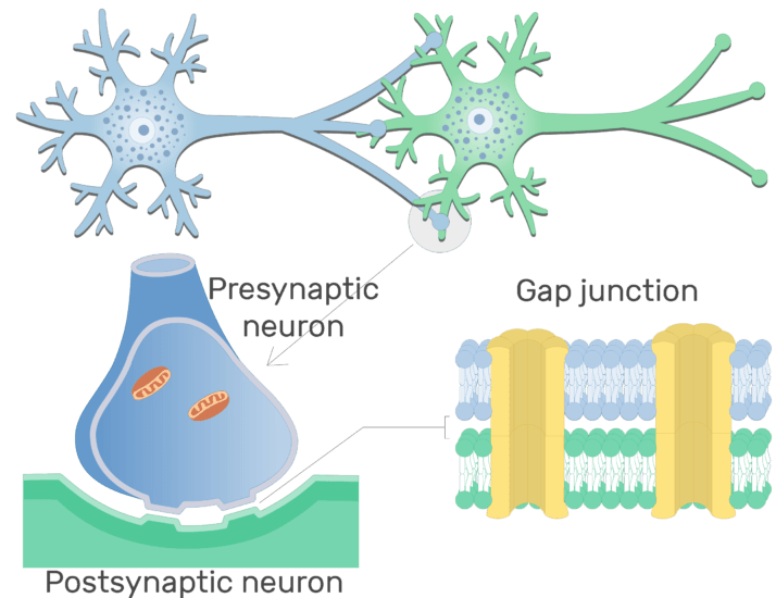 An image showing Gap junction of an Electrical synapse between 2 neurons (presynaptic neuron and postsynaptic neuron)