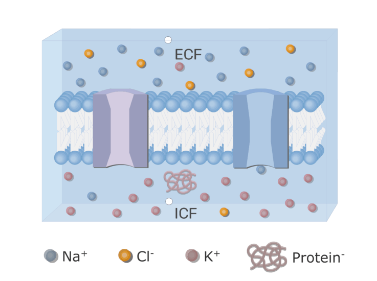 An image showing the ion diffusion through gated channels with neuron cell membrane in addition to ion channels (gated and leak) and the proteins inside