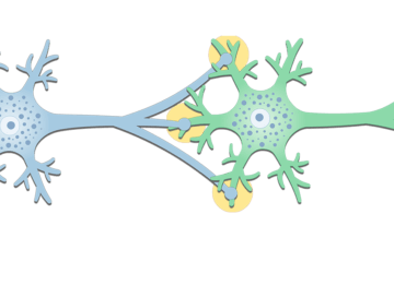 General Structure of a Neuron Synapse - Featured
