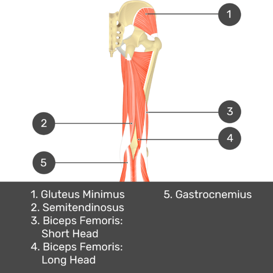 Test yourself image 10, posterior view of thigh and gluteal region. Muscles and structures labelled- gluteus minimus, semitendinosus, biceps femoris: short head, biceps femoris: long head, gastrocnemius.