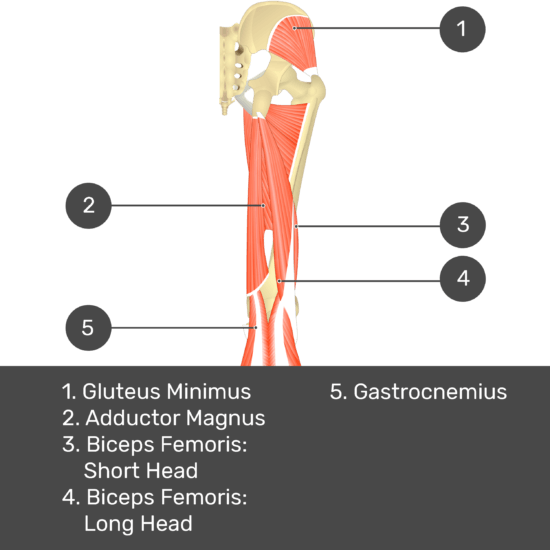 Test yourself image 11, posterior view of thigh and gluteal region. Muscles and structures labelled- gluteus minimus, adductor magnus, biceps femoris: short head, biceps femoris: long head, gastrocnemius.