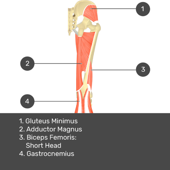 Test yourself image 12, posterior view of thigh and gluteal region. Muscles and structures labelled- gluteus minimus, adductor magnus, biceps femoris: short head, gastrocnemius.
