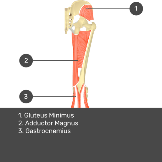 Test yourself image 13, posterior view of thigh and gluteal region. Muscles and structures labelled- gluteus minimus, adductor magnus, gastrocnemius.