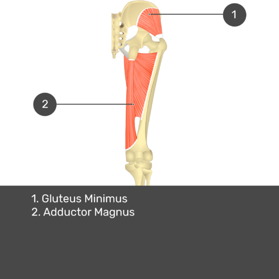 Test yourself image 14, posterior view of thigh and gluteal region. Muscles and structures labelled- gluteus minimus, adductor magnus.