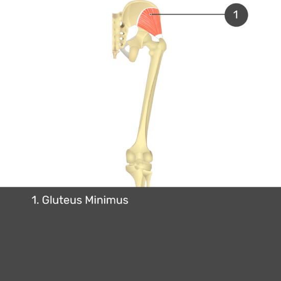 Test yourself image 15, posterior view of thigh and gluteal region. Muscles and structures labelled- gluteus minimus.