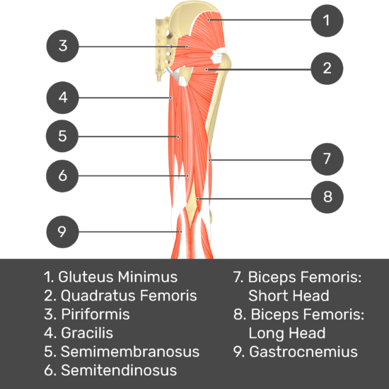 Test yourself image 7, posterior view of thigh and gluteal region, lateral rotators of the thigh visible. Muscles and structures labelled- gluteus minimus, piriformis, quadratus femoris, gracilis, semimembranosus, semitendinosus, biceps femoris: short head, biceps femoris: long head, gastrocnemius.