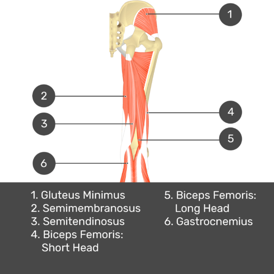 Test yourself image 9, posterior view of thigh and gluteal region. Muscles and structures labelled- gluteus minimus, semimembranosus, semitendinosus, biceps femoris: short head, biceps femoris: long head, gastrocnemius.