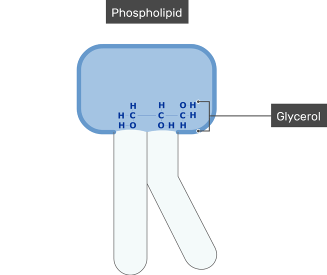 An image showing the Glycerol of bilayer phospholipid of the cell membrane