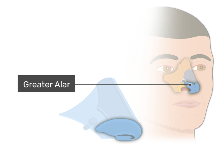 Greater alar cartilages - nasal cartilages