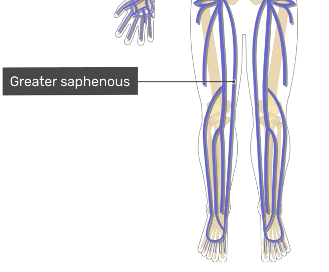Labelled image of the greater saphenous vein.