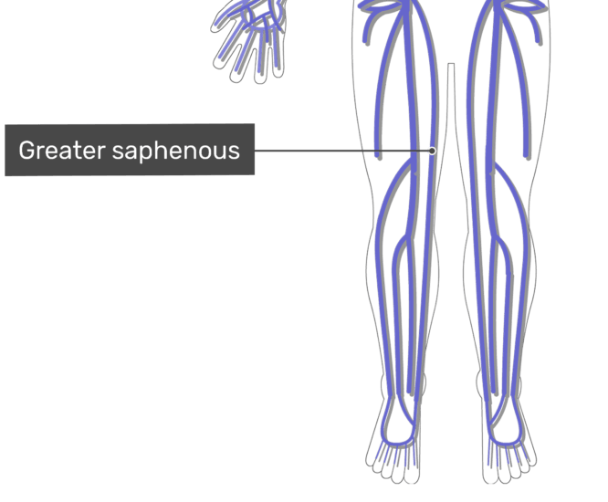 Labelled image of the greater saphenous vein with the skeleton off.