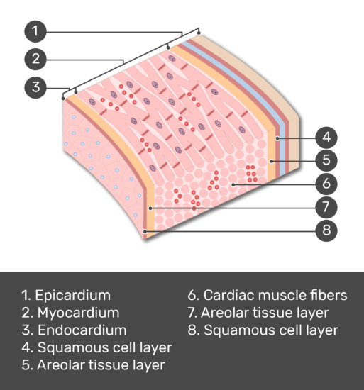 Test yourself image of a section of the heart wall with answers shown: epicardium, myocardium, endocardium, Squamous cell layer, Areolar tissue layer, Cardiac muscle fibers, Areolar tissue layer, Squamous cell layer
