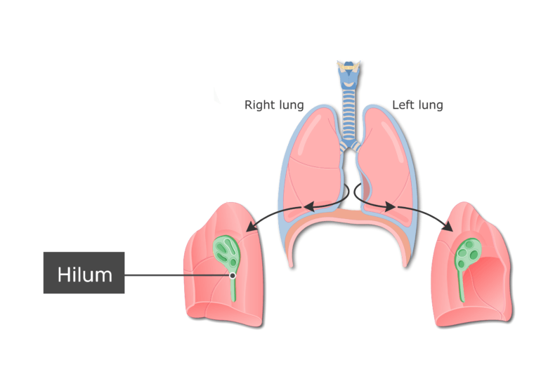 Lungs, mediastinum, and hilum labeled