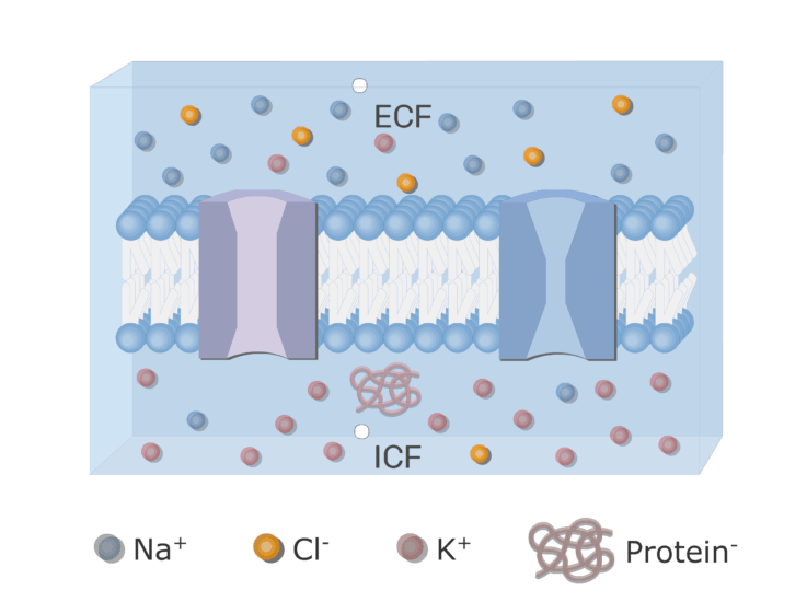 An image showing the ICF (Intracellular fluid) and ECF (Extracellular fluid) with neuron cell membrane in addition to ion channels (gated and leak) and the proteins inside