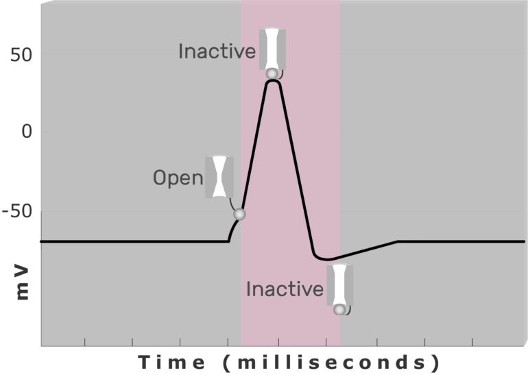 An image showing the inactive (closed) and active (open) Na+ channel during Absolute refractory period (pink) using diagram of action potential measured (mv) through time