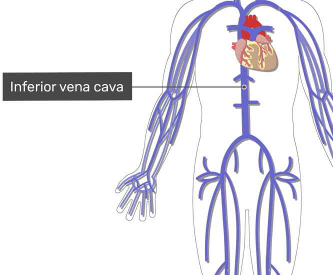 Labelled image of the inferior vena cava with the skeleton off.