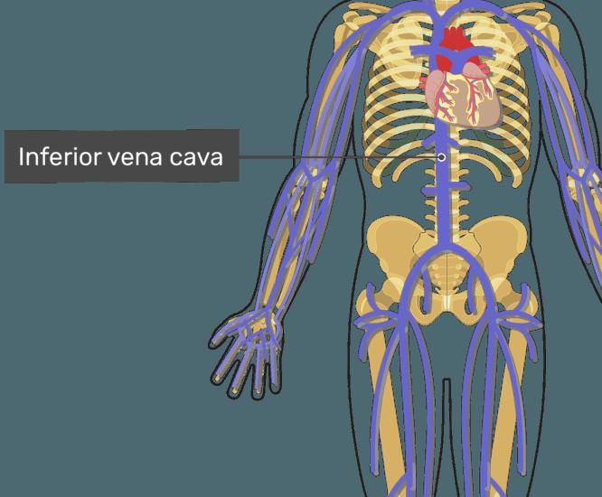 Labelled image of the inferior vena cava.