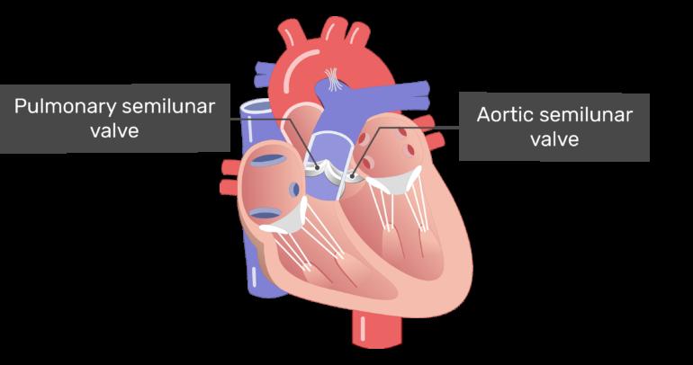 Interior view of the Pulmonary semilunar valve and the aortic semilunar valve