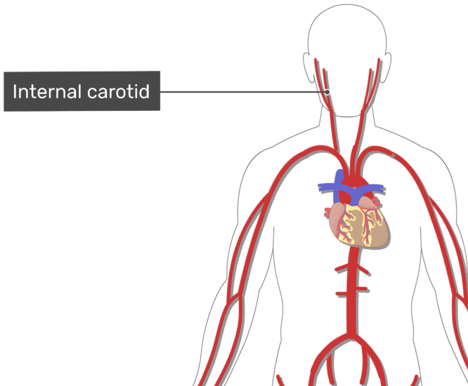 Labelled image of the internal carotid artery of the neck with the skeleton hidden.