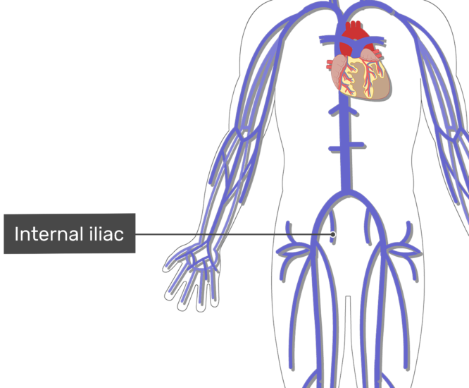 Labelled image of the iliac vein with the skeleton off.