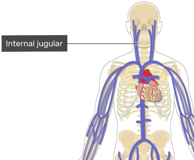Labelled image of the internal jugular vein.