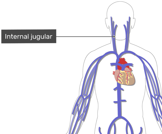 Labelled image of the internal jugular vein with the skeleton off.