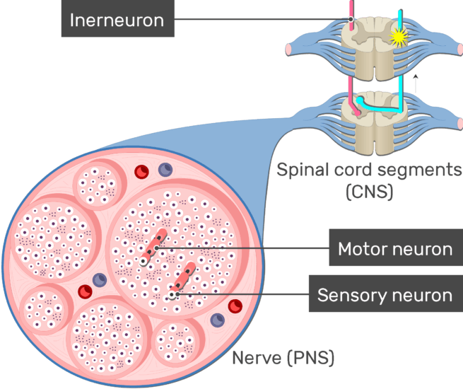 An image showing the action potential moving through an interneuron inside the CNS from a preripheral neuron to the brain