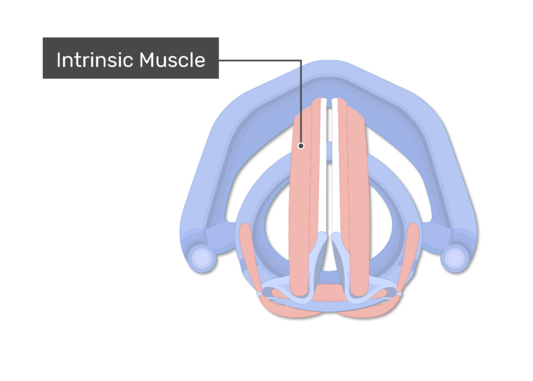 The intrinsic muscles shown on superior view