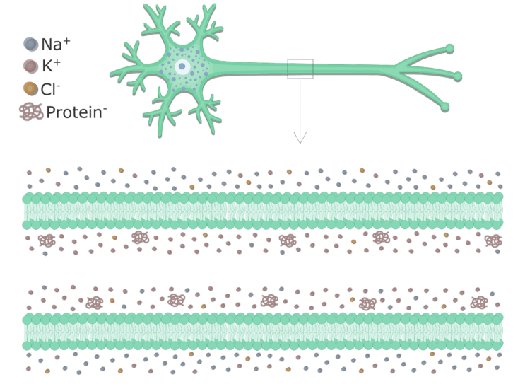 An image showing the cell membrane of an axon enlarged