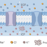 An image showing the neuron cell membrane in addition to ion channels (gated and leak) and the proteins inside